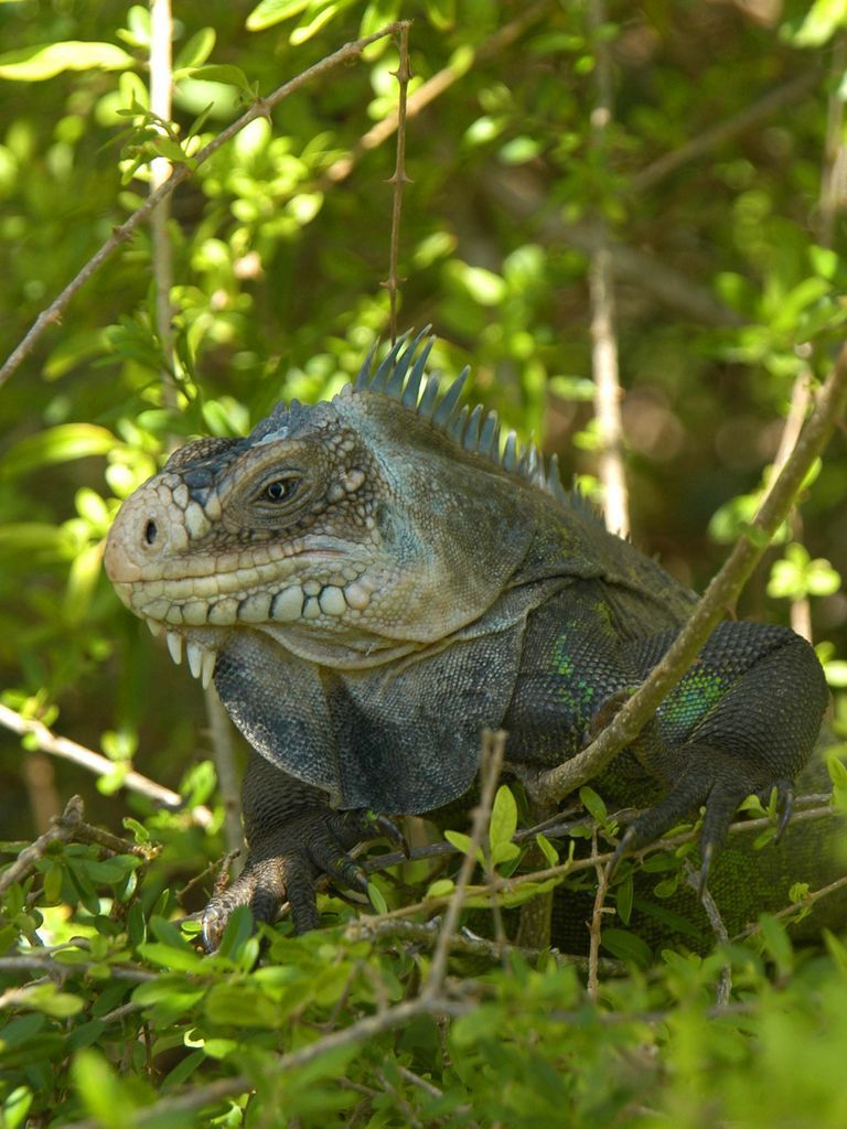 iguane-antillais