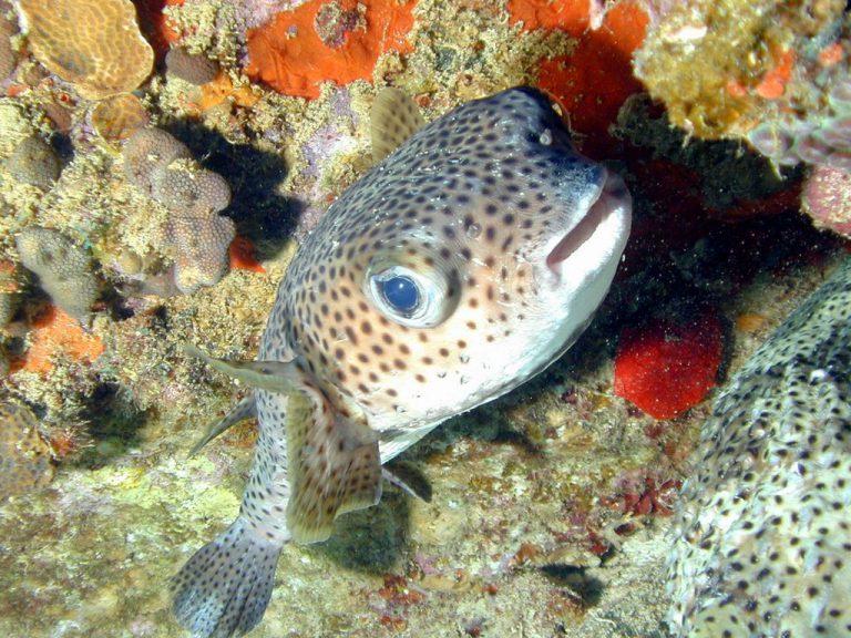 poisson-diodon