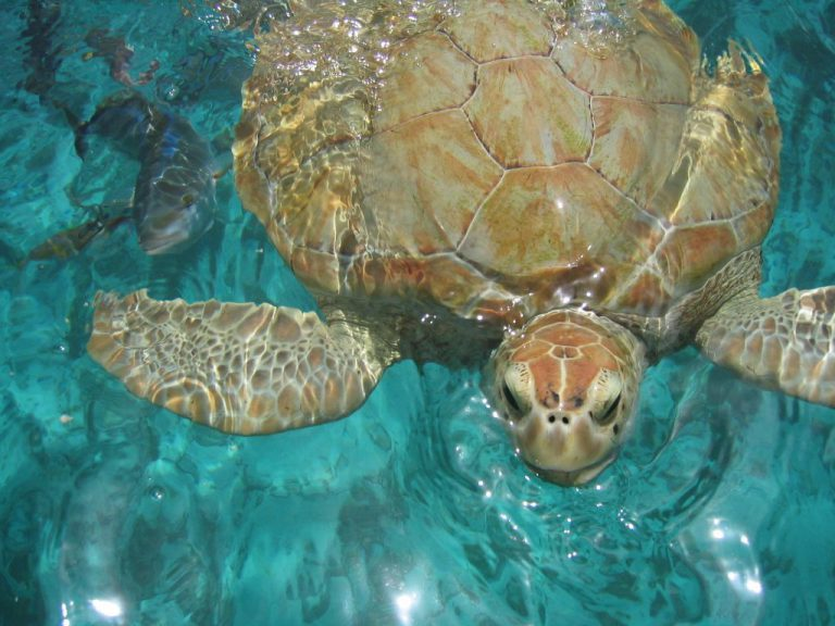 tortue-antilles