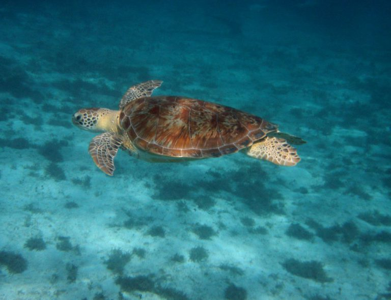 tortue-guadeloupe